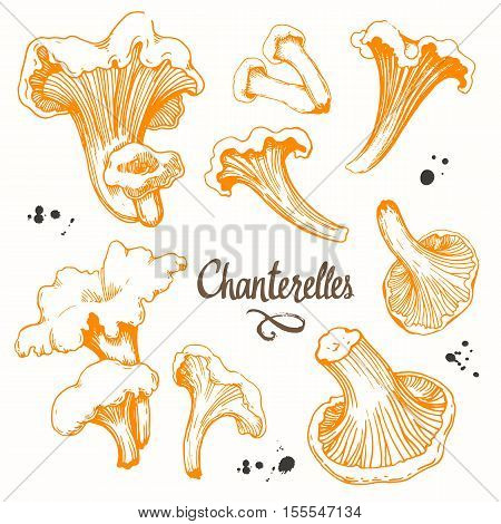 Vector illustration with set of mushrooms in sketch style. Hand-drawn truffle on white background. Delicatessen orange mushrooms. Autumn forest harvest.