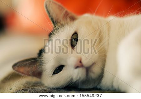 A disgruntled cat. Interrupted sleep white cats.