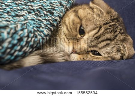 Scottish cat trying to to fall asleep like a man under a warm knitted blanket close-up