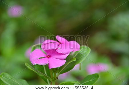 Beautiful pink vinca flowers also called madagascar periwinkle