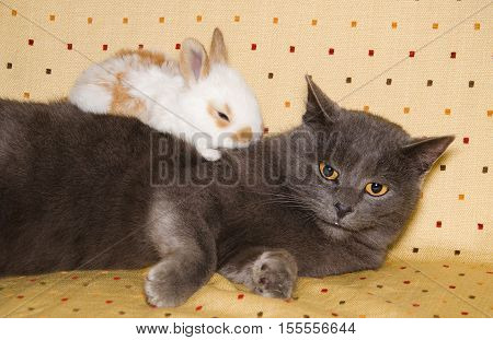 Portrait of baby bunny sleeping over chartreux cat