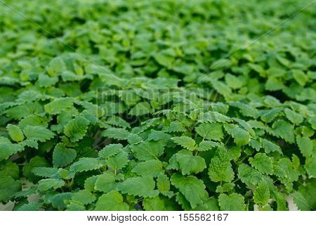 Mint leaves.Mint leaves.Mint leaves background.peppermint.leaves of mint on green background.Closeup of fresh mints leaves texture or abstract background.
