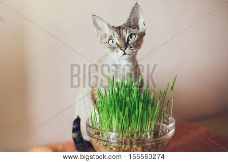 Cat eats fresh green grass. Cat grass, pet grass. Natural hairball treatment. Devon Rex with pot of grass