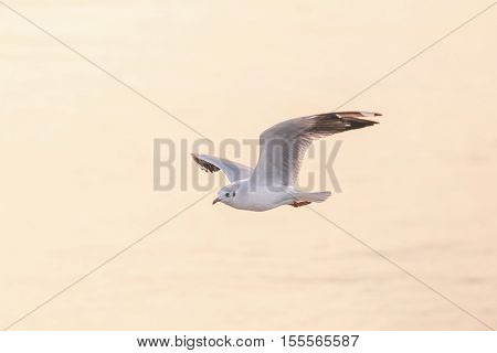 Seagull flying over blurry orange water surface from sunrise in morning at Bangpu Samutprakarn of Thailand.