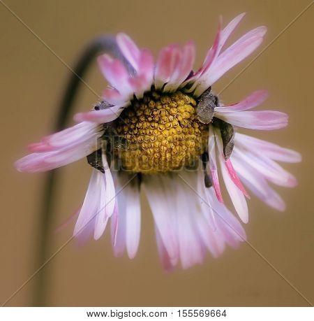 fleur des prés avec pétales blanches et roses