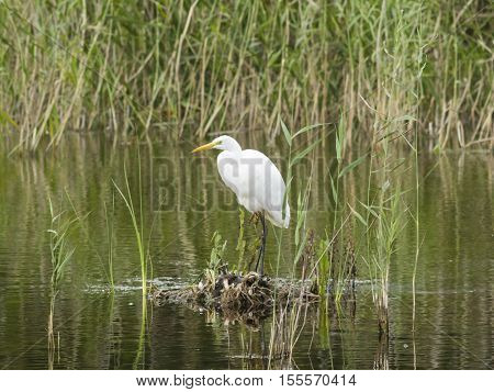 Great white heron or Great egret Ardea alba close-up portrait on small island at lake with bokeh background selective focus shallow DOF