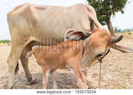 Calf suckling milk from mom selective focus