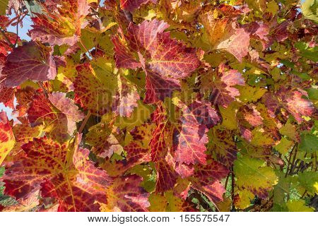 Red wine leaves on a vine stock in autumn in close-up