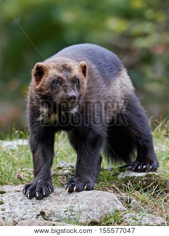 Wolverine (Gulo gulo) standing on a rock with vegetaion in the background
