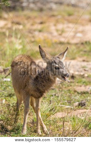 a cute mule deer fawn in early fall