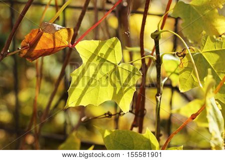 close photo of a small yellow leaf of woodbine growing on the fence in autumn