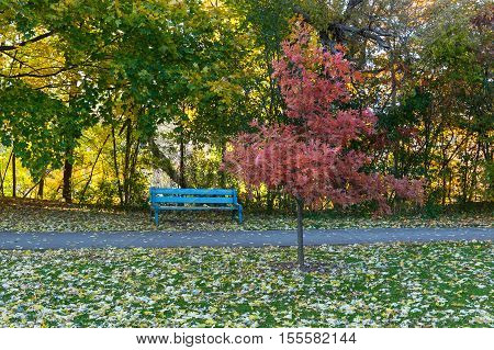 A red oak in the Fall close to a blue bench