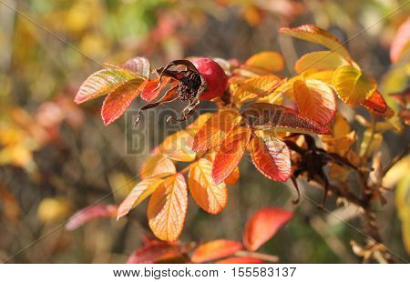 close photo of common medlar (Mespilus germanica) with sear fruit and colorful leaves in autumn