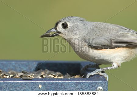 Tufted Titmouse (baeolophus bicolor) on a feeder with a sunflower seed