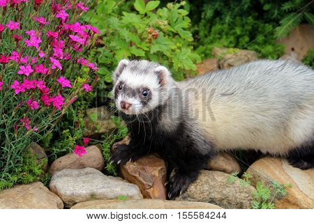 Cute little ferret in a wild nature