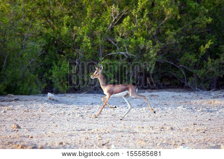 Small gazelle on Sir Bani Yas island UAE