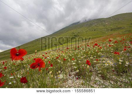 Field of beautiful poppies on Vettore mountain