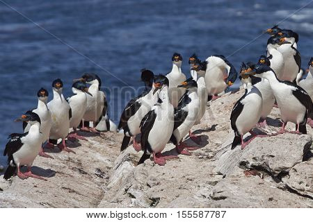 Group of Imperial Shag (Phalacrocorax atriceps albiventer) on a rock ledge on the coast of Carcass Island in the Falkland Islands