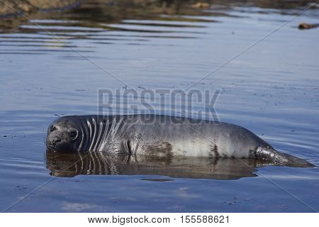 Southern Elephant Seal (Mirounga leonina) pup lying in a shallow rock pool on the coast of Carcass Island in the Falkland Islands.