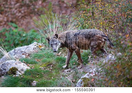 Apennine wolf Canis lupus italicus. Typical of this exemplary wolf in the forests and in the Italian woods. In this photo the wolf looks straight into the camera.