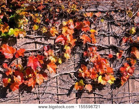 Rred leaves on a fence in Thornhill Canada November 6 2016