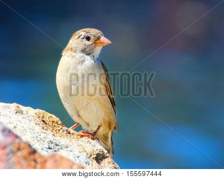 The female of a House Sparrow ( Passer domesticus ) on a bird table. Wildlife winter background. Picture with space for your text.