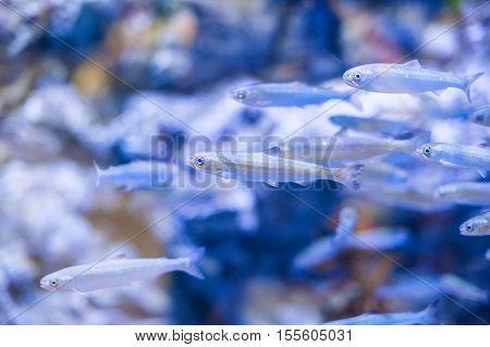 Smelt Fish In The Aquarium