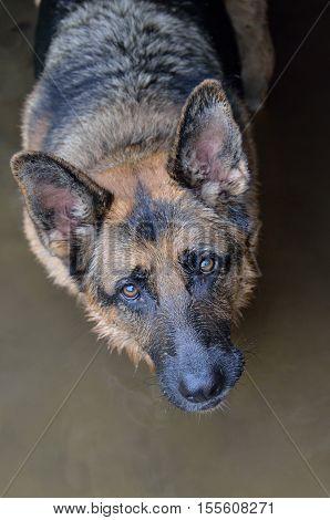 Closeup portrait of German Shepard dog face in water looking up