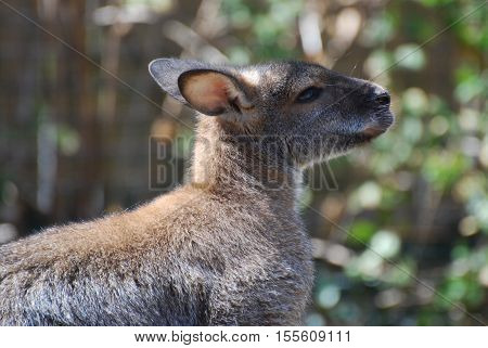 Profile of an Australian wallaby in the wild