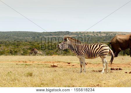 Burchell's Zebra Standing And Choking
