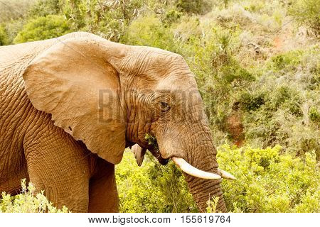 Close Up Of A Bush Elephant Standing And Eating