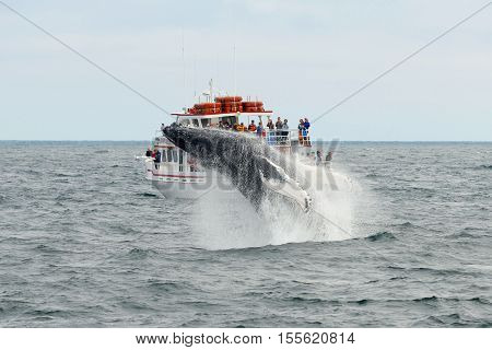 MASSACHUSETTS BAY, USA - JUL 25, 2015: Humpback whale breaching out of the water in front of Whale Watching Boat Miss Cape Ann on the sea near Gloucester, Massachusetts, USA.
