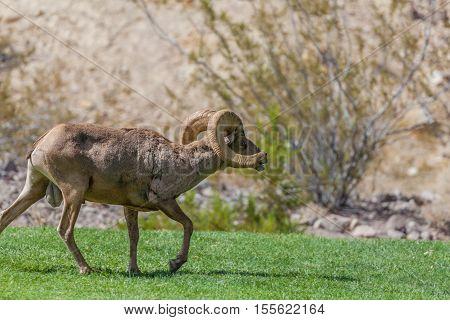 a desert bighorn sheep ram in the rut