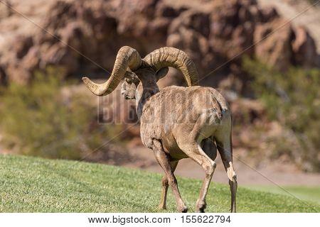a desert bighorn sheep ram in rut