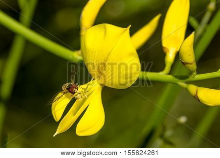 Yellow flowers of Genista sagittalis broom plant with a hoverfly poster