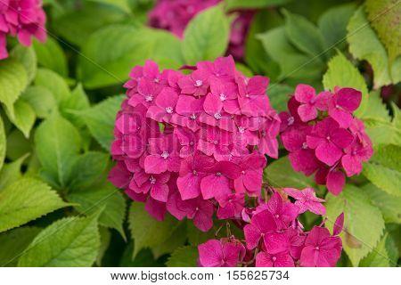 Flower - Beautiful pink hydrangea (Hydrangea macrophylla)