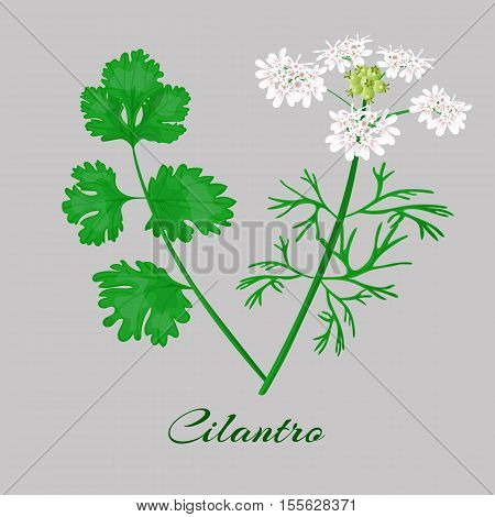 Coriander or Cilantro. flowerm blossom leaves. Whole plant Vector