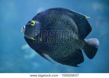 French angelfish (Pomacanthus paru). Marine fish.