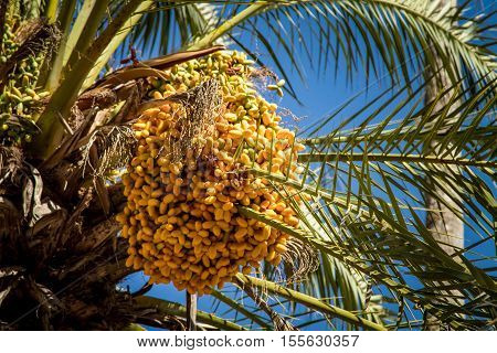 The date palm with bunches of ripening fruits on blue sky background. Close-up selected focus