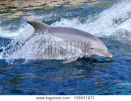 The Bottlenose Dolphin jumping in bluelagoon. Funny and friendly animal. Greeting from tropical paradise.