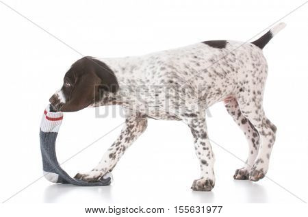 naughty german shorthair pointer puppy chewing on a sock
