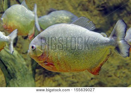 piranha ordinary fish underwater close up portrait