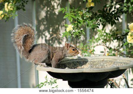 Squirrel Quick Drink