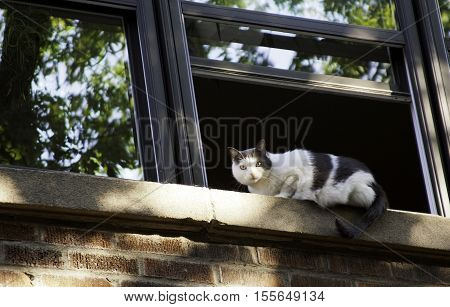Close view of a black and white cat lying on the window ledge of a brick building, staring at the camera. Shot in Montreal, Quebec, on a bight sunny day in September.