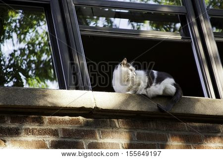Close view of a black and white cat lying on the window ledge of a brick building, staring over his shoulder. Shot in Montreal, Quebec, on a bight sunny day in September.