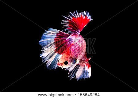 Capture the moving moment of red siamese fighting fish isolated on black background