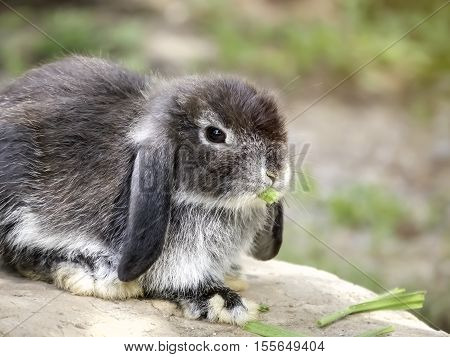 Baby Holland lop rabbit eating grass on the rock