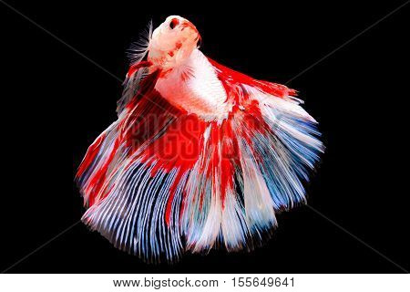 Siamese of Betta Fighting Fish on black