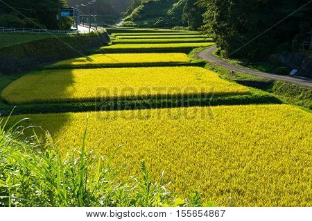 Rice Field Along Country Road. Aichi Prefecture, Japan