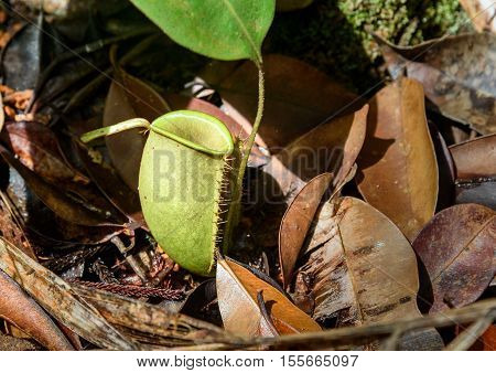 Ground Pitcher, Nepenthes Ampullaria